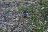 Bluethroat  Blåhake  (Luscinia svecica)