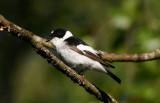 Collared Flycatcher  Halsbandsflugsnappare  (Ficedula albicollis)