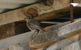 Black Redstart  Svart rödstjärt  (Phoenicurus ochruros)
