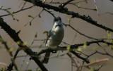 Lesser Whitethroat  Ärtsångare  (Sylvia curruca)