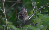 Common Whitethroat  Törnsångare  (Sylvia communis)