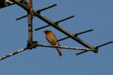 Common Redstart  Rödstjärt  (Phoenicurus phoenicurus)