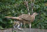 Phrieda the phemale pheasant and her phurry phriend