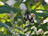 Bluebell Tiger Moth aka Police Car Moth