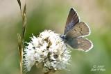 Boisduval's Blue ? (Plebejus icarioides)