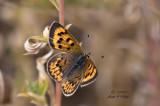 Lilac-bordered Copper