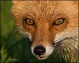 red_fox_2007