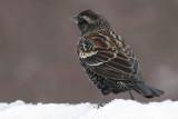 red winged blackbird 71