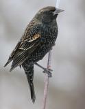 red winged blackbird 72