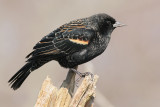 red winged blackbird 77