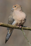 mourning dove 31