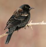 red winged blackbird 79