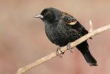 red winged blackbird 80