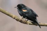 red winged blackbird 83