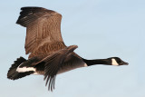 goose 119