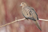 mourning dove 33