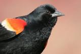 red winged blackbird 88