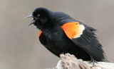 Redwing Blackbird-male