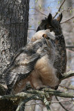 great horned owl and juvenile owl 2