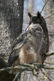 great horned owl and juvenile owl 3