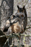 great horned owl and juvenile owl 6