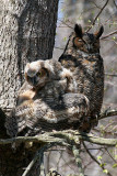 great horned owl and juvenile 7