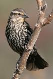 red winged blackbird 97