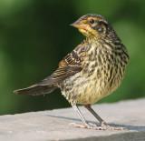 juvenile redwing blackbird 9