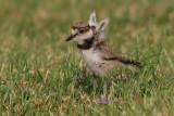 killdeer chick 8