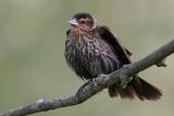 red winged blackbird 113