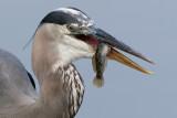 great blue heron 197