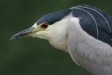 black-crowned night heron 166