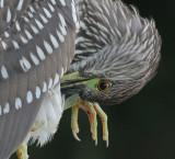 juvenile black-crowned night heron 275