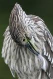 juvenile black-crowned night heron 285