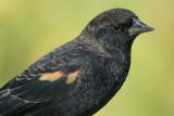 red winged blackbird 114