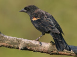 red winged blackbird 115