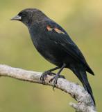 red winged blackbird 117