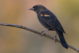 red winged blackbird 118