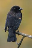 red winged blackbird 218