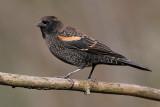 red winged blackbird 219