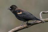 red winged blackbird 220