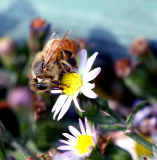 November honeybee
