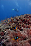 Clarks Anemone Fish, Diver