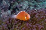 Pink Anemone Fish