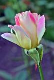 Glen Burnie's Roses.