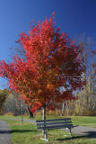 Small Maple Tree