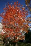 November 6, 2006Maple Tree