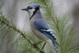 December 1, 2006Young Bluejay