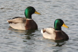 December 14, 2006Mallard Ducks