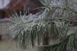 January 14, 2007Ice on Pine Tree